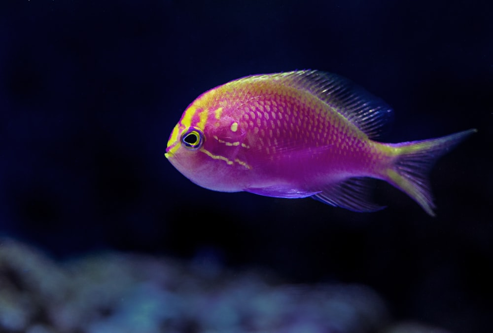 purple fish in closeup photography